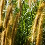 Wayalailai Grasses