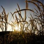 Nacula Grasses