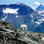 Harding Icefield Goat