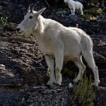 Garden Wall Goats